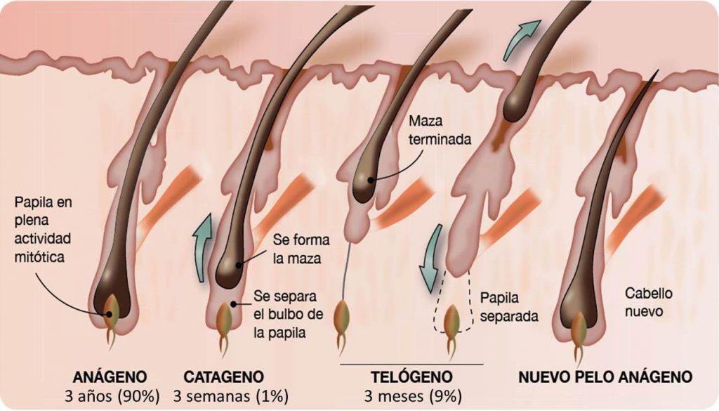 El ciclo folicular y sus tres fases: anágeno (crecimiento), catágeno (transición) y telógeno (caída).