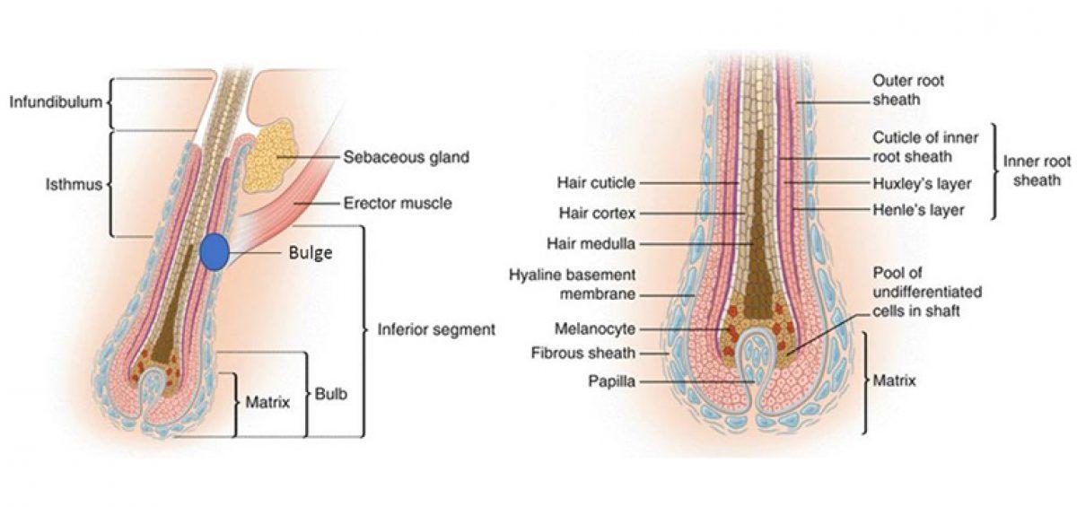 anatomia del pelo y el ciclo folicular